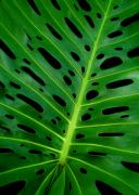 Pina Prints - Swiss Cheese Plant Print by James Temple