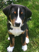 Greater Swiss Mountain Dog Prints - Swissy Puppy 1 Print by Jonathan Boyd