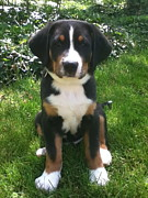 Greater Swiss Mountain Dog Prints - Swissy Puppy 2 Print by Jonathan Boyd