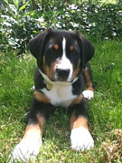 Greater Swiss Mountain Dog Prints - Swissy Puppy 3 Print by Jonathan Boyd