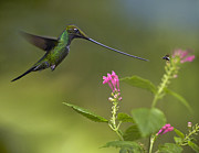 Animals And Insects Photos - Sword Billed Hummingbird And Insect by Tim Fitzharris