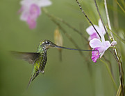 Feeding Birds Prints - Sword Billed Hummingbird Feeding Print by Tim Fitzharris