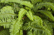 Frond Prints - Sword Fern Point Reyes National Print by Sebastian Kennerknecht