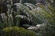 Sooke Prints - Sword Ferns In A Garden Print by Taylor S. Kennedy