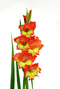 Red Gladiolus Photos - Sword Lily by Michal Boubin