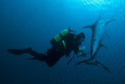 Murcia Photos - Swordfish In A Fishing Net by Angel Fitor