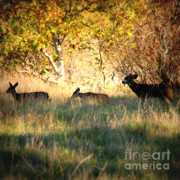 Deer Silhouette Framed Prints - Sycamore Grove Series 10 Framed Print by Carol Groenen