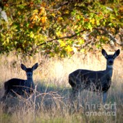 Two Deer Framed Prints - Sycamore Grove Series 3 Framed Print by Carol Groenen