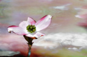 Dogwood Photos - Symbol Of Crucifixion by Kathy Jennings