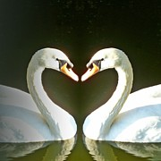 Swan Digital Art Posters - Symmetric Love Poster by Sharon Lisa Clarke