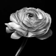 Floral Mixed Media Metal Prints - Symphony - Black And White Roses Flowers Macro Fine Art Photography Metal Print by Artecco Fine Art Photography - Photograph by Nadja Drieling