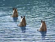 Cathy  Beharriell - Synchronized Swimming