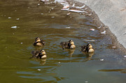 Mallards Photos - Synchronized Swimming by Martina Thompson