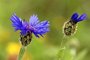 Syrian Prints - Syrian Cornflower-thistle Flowers Print by Photostock-israel