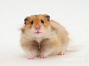 Syrian Hamster Photos - Syrian Hamster by Mark Taylor