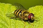Animal Photos - Syrphus Ribesii by Gert Lavsen