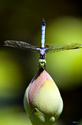 Blue Dragon Fly Prints - T Shape Print by Lisa  Spencer