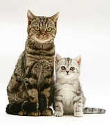 Brown Tabby Posters - Tabby Cat And Kitten Poster by Jane Burton