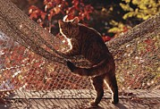 Domestic Scenes Framed Prints - Tabby Cat Caught Climbing On A Net Framed Print by Medford Taylor