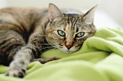 Blanket Prints - Tabby Cat On Green Blanket Print by Dhmig Photography