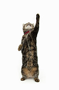 Pet Collar Posters - Tabby Cat Reaching Up Poster by Luxx Images