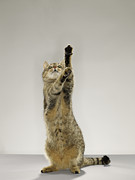 Cat Paw Posters - Tabby Cat Standing On Hind Legs With Stretching Out Paw Poster by Michael Blann