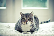 Sitting Photos - Tabby Cat Staring Straight In Camera by Cindy Prins