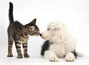 Mark Taylor - Tabby Kitten and Border Collie