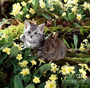 Animal Portraiture Framed Prints - Tabby Kitten And Wild Rabbit Framed Print by Jane Burton