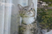 Y120907 Art - Tabby Kitten In Window by Photo by Laurie Cinotto
