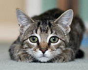 Front View Photo Posters - Tabby Kitten Poster by Jody Trappe Photography
