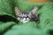 Fluffy Cat Prints - Tabby Kitten Napping In Sweater Print by Photo by Laurie Cinotto