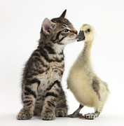 Weeks Prints - Tabby Kitten With Yellow Gosling Print by Mark Taylor