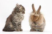 House Pets Posters - Tabby Kitten With Young Rabbit, Grooming Poster by Mark Taylor