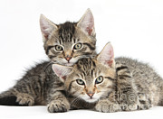 Animal Babies Posters - Tabby Kittens Cuddling Poster by Mark Taylor