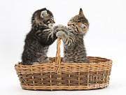 Mark Taylor - Tabby Kittens Playing In Basket
