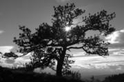 James Geddes - Table Mountain Tree