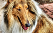 Canine Posters Photos - Taffy Collie by John Herzog