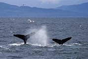 Humpback Posters - Tail Flukes Of Diving Humpback Whales Poster by Ralph Lee Hopkins