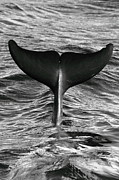 Black And White Photography Metal Prints - Tail Of Diving Dolphin Above Water Metal Print by Rich Lewis