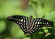 Butterfly In Flight Prints - Tailed Jay Butterfly Print by Sabrina L Ryan