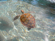 Green Sea Turtle Photos - Take a Breath by Stacey Robinson