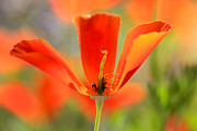 California Poppy Framed Prints - Take A Look Inside Framed Print by Heidi Smith