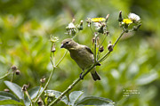 Rateitart Posters - Take a Look - Lesser Goldfinch Poster by James Ahn