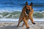 Dog Play Beach Posters - Take Off With A Clam Shell - German Shepherd Dog Poster by Angie McKenzie