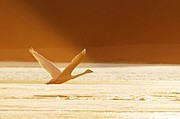 Trumpeter Swan Framed Prints - Takeoff at Sunset Framed Print by Larry Ricker