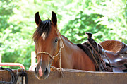 Quarter Horses Photo Posters - Taking A Break Poster by Jan Amiss Photography