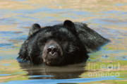 Black Bear Photos - Taking A Dip by Sandra Bronstein