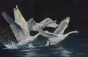 Swans... Pastels Prints - Taking Off Print by Marcus Moller