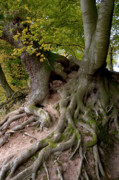 Tree Roots Photos - Taking root by Heiko Koehrer-Wagner